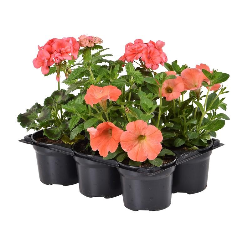 Mélange de fleurs annuelles. Le pack de 6 plants