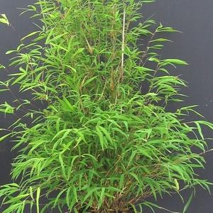 Pot de bambou fargesia angustissima 5 L 495853