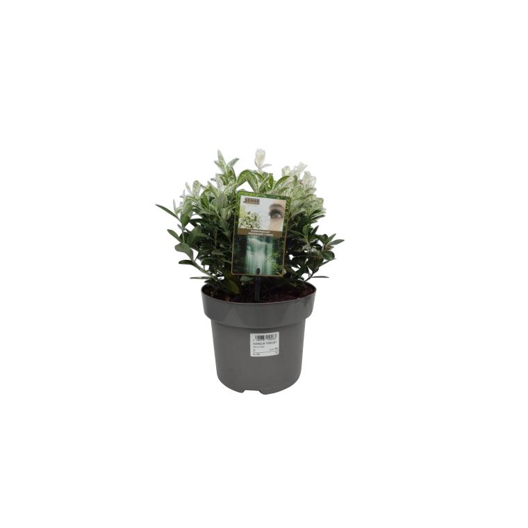 Fusain Euonymus Japonicus Pierrolino blanc en pot de 2 L