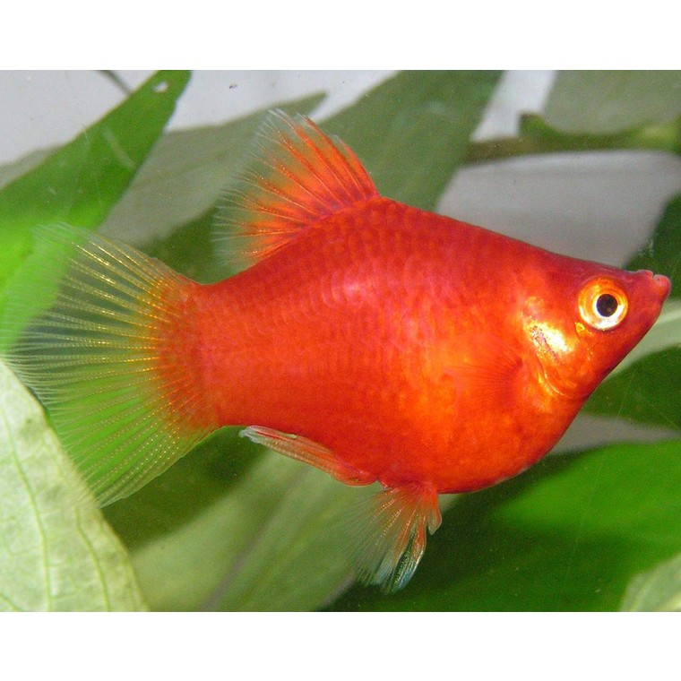 Platy corail rouge 496515