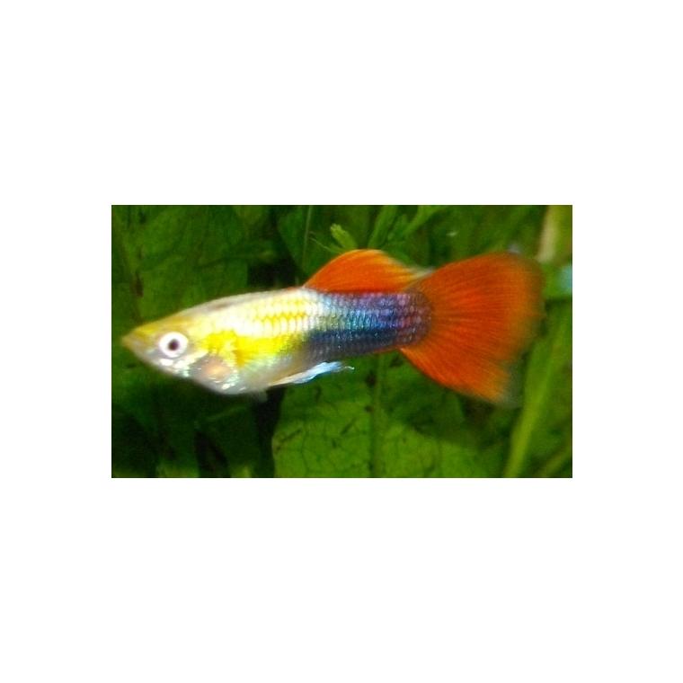 Guppy mâle rouge 498144
