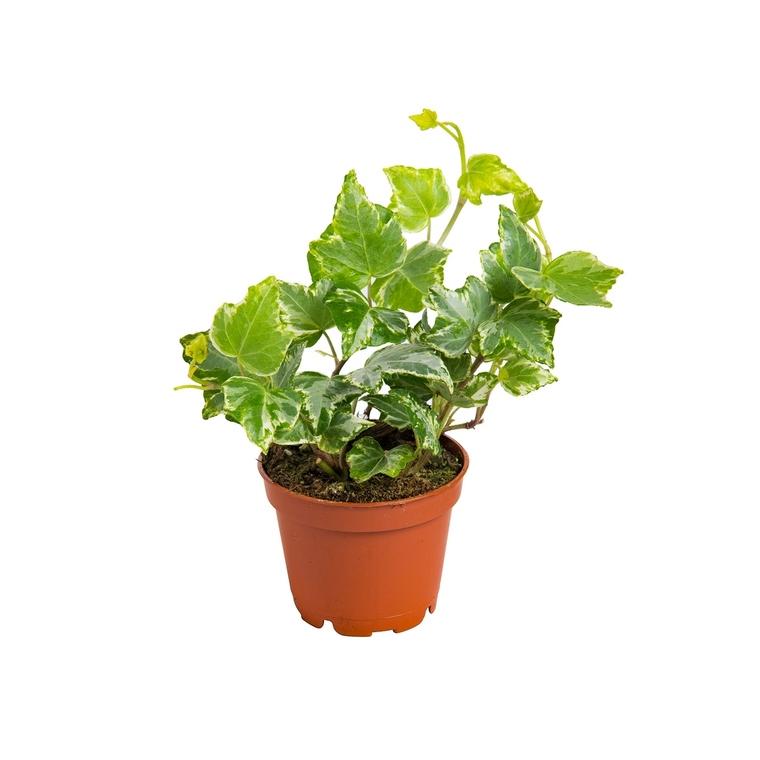 Plante Verte Mix Baby Mini Plantes Vertes Et Fleuries Maison Botanic
