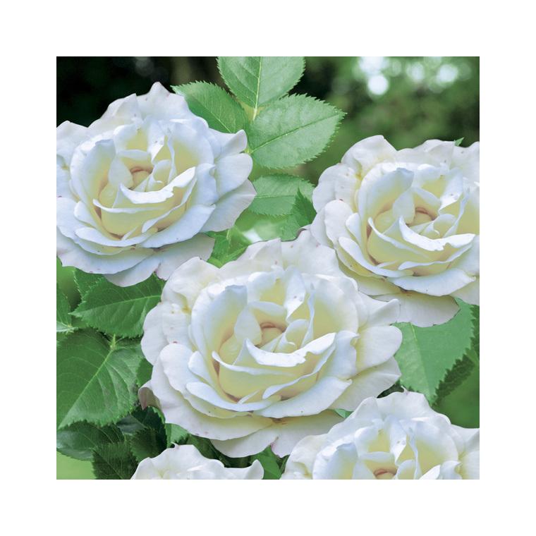 rosier centenaire de lourdes blanc le pot de 3 litres rosiers jardin botanic. Black Bedroom Furniture Sets. Home Design Ideas