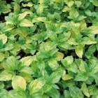 menthe gingembre le pot de 1 litre recycl plantes pour le potager nos produits botanic. Black Bedroom Furniture Sets. Home Design Ideas