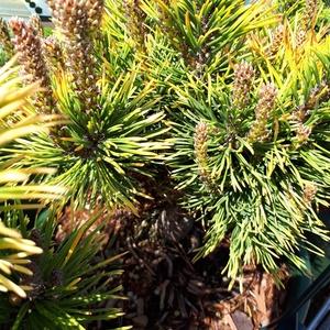 Pinus Mugo Winter Gold (pin de montagne) 20/25 en pot de 3 L jaune 500827