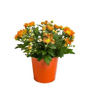 Mini Chrysanthème. Avec cache-pot 50731