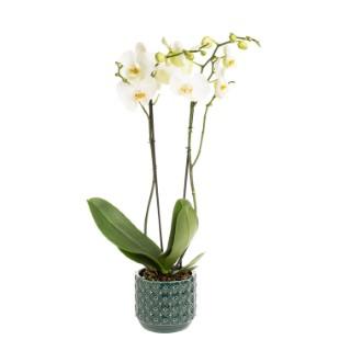 Orchidée Papillon (PHALAENOPSIS) + cache-pot 523580