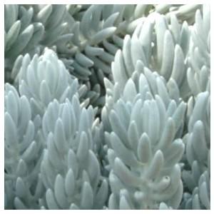 Séneçon rampant trident bleu en pot de 1 L 525893