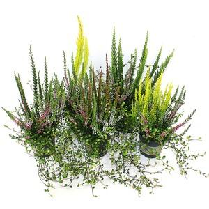 Erica mélangée multicolore en pot de 10,5 cm 525968