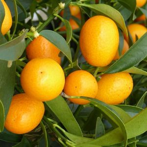 Kumquat en pot couleur de 10 L 526735