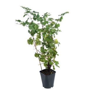 Vigne Nero Bio botanic® 526738