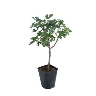 Figuier « Bornholm » Bio botanic® 526739