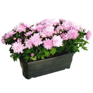 Chrysanthème Multifleurs Fricky multicolore en jardinière de 30 cm 527499