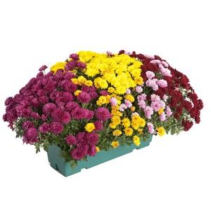 Chrysanthème Multifleurs Fricky multicolore en jardinière de 40 cm 527500