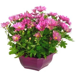 Chrysanthème Multifleurs Fricky multicolore en coupe de 23 cm 527501