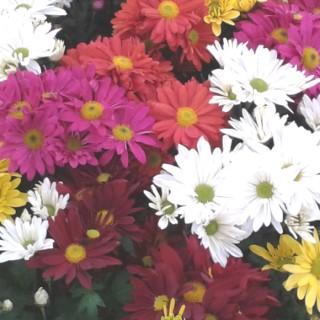Chrysanthème Multifleurs multicolore en pot Ø 10,5 cm 527502
