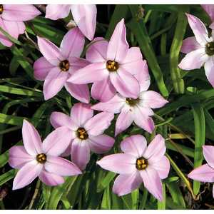 Ipheion Uniflorum Rose. Le pot de 9x9 cm 527534