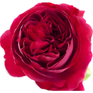 Rosier buisson Rosemantic Red®, le pot de 5 L. 528733