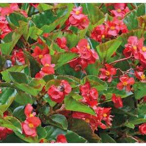 Bégonia Megawatt® botanic® - Pot 12x12 cm 533842