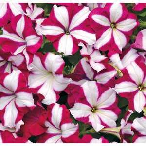 Pétunia Easywave Burgundy Star botanic® - Pot 12x12 533844