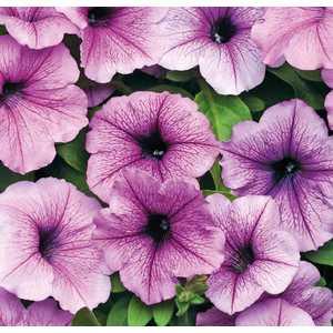 Pétunia Easywave Plum Vein botanic® - Pot 12x12 533845