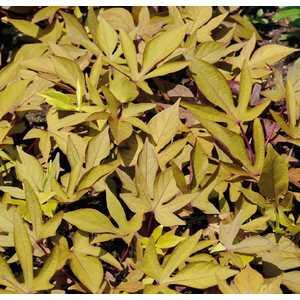 Ipomée à feuillage décoratif. Le pot de 9 x 9 cm 533996