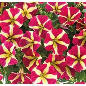Pétunia retombant Amor botanic® - Pot 9x9 533997