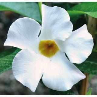 Dipladenia Sanderi Blanc botanic® – Pot 9x9 534008