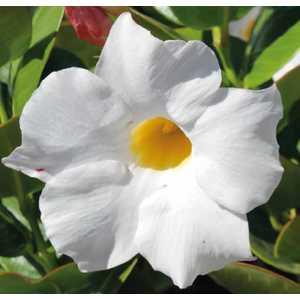 Dipladenia Sundaville Grand White botanic® – Pot 9x9 534016