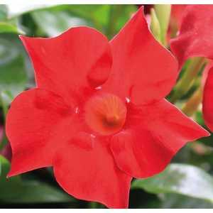Dipladenia Sundaville Velvet botanic® – Pot 9x9 534017