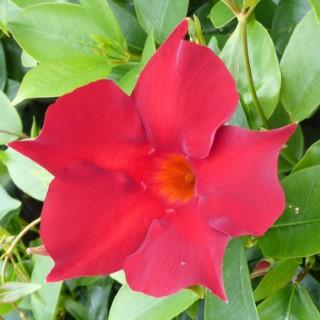 Dipladenia Rio Petite Red. Le pot de 9x9 cm 534024