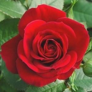 Rosier miniature multicolore en pot de 10 L 534431