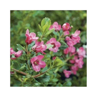 ESCALLONIA Pride of Donard 535098