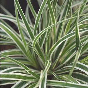 Carex Oshimensis Everest vert en pot de 2 L 535597
