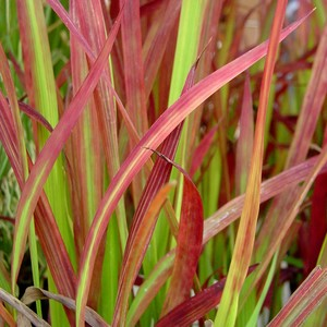 Imperata Red Baron. Le pot de 2 litres 535601