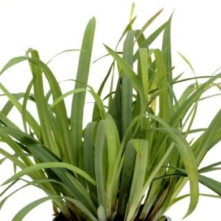 Carex Laxiculmis Bunny Blue. Le pot de 2 litres 535612