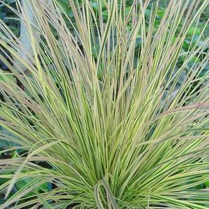 Calamagrostis. Le pot de 2 litres 535613