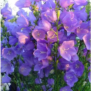 Campanula Persicifolia bleu en pot de 2 L 535618