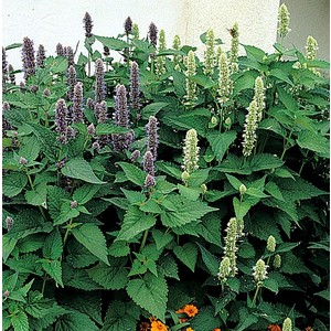 Agastache Black Adder. Le pot de 2 litres 535632