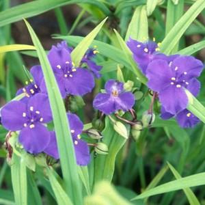 Tradescantia virginiana bleu en pot de 2 L 535641