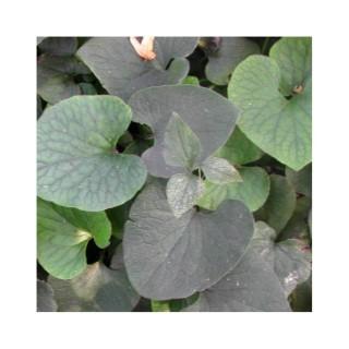 Brunnera Macrophylla. Le pot de 2 litres 535651
