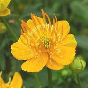 Trollus jaune en pot de 2 L 535656