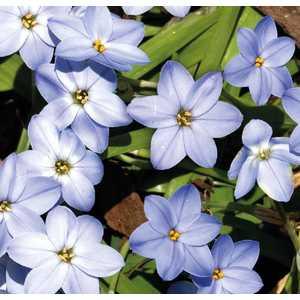 Iphelon Uniflorum bleu en pot de 2 L 535667