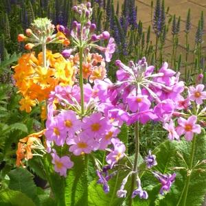 Primula japonica multicolore en pot de 2 L 535675