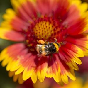 Plante vivace mellifère multicolore en pot de 2 L 535683