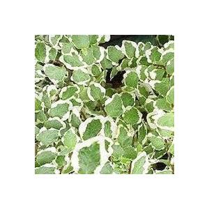 Ficus Sunny - Pot de Ø12 cm 556794