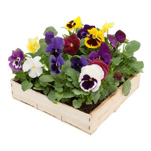 Pensée à grandes fleurs. La cagette de 16 mottes. 559975