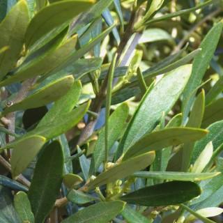 Olea Europaea ou Olivier Pyramide en pot de 50 L 560875