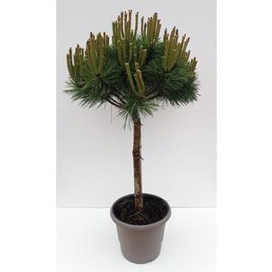 Pin (Pinus) Nigra Brepo 1/4 tige. Le pot déco de 10 litres 561253