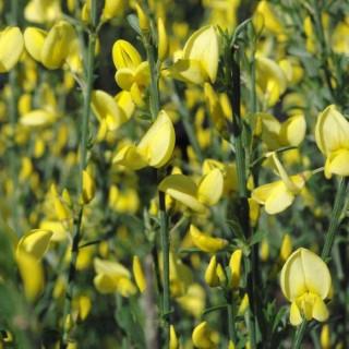 Genêt à balai jaune - Pot de 7L 57798